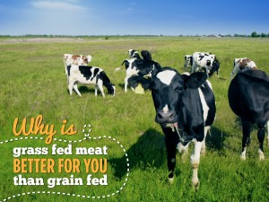 Why is grass fed meat better for you than grain fed?
