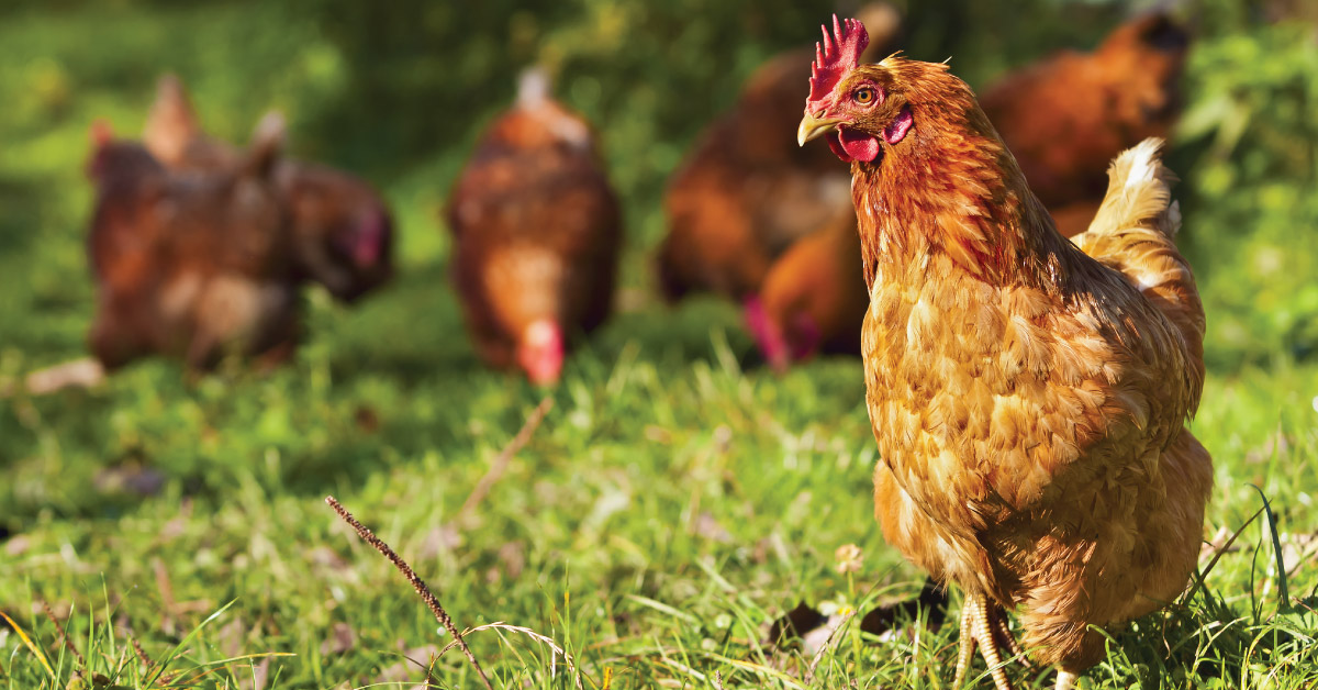 Why-you-Should-Make-the-Switch-to-Organic-Chicken-fb-1200x628