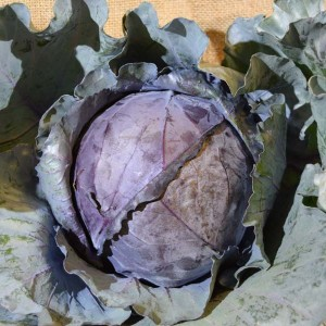 Cabbage Red MED (ea)